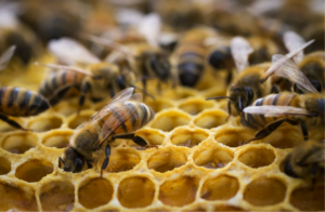 Cover photo for Honey Bees in a Home Should Be Saved