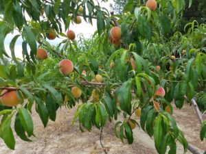 Cover photo for Peach Field Day at the Sandhills Research Station