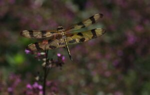 Cover photo for Register Now for April CCP Meeting About Dragonflies and Damselflies