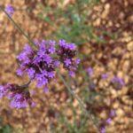 Verbena blooms